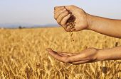 stock photo of fertilizer  - Wheat seeds falling in hand in wheat field background - JPG