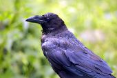 image of raven  - Side view of a resting raven in forest - JPG