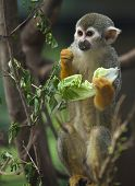 stock photo of titi monkey  - A cute and small titi monkey in Cordoba Zoo Spain - JPG