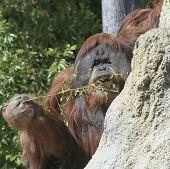An Orangutan Uses A Stick To Fish For Termites