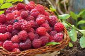 Fresh Rubus Idaeus In Basket
