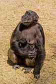 stock photo of chimp  - A female adult chimp sitting down and cuddling her baby - JPG