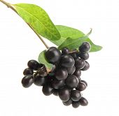 wild black berries with leaves, isolated on white
