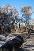 Dead Forest After Bushfire