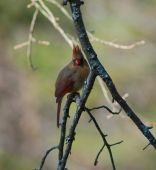 Female Cardinal Sitting On A Tree Branch.
