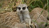 foto of meerkats  - Portraits of meerkats or Suricata suricatta. Meerkat family in Cordoba Spain
