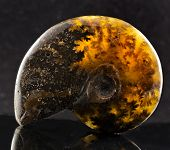 ammonite stone with reflection close up on black surface background