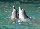 dance of two bottlenose dolphins Tursiops truncatus in the open dolphinarium