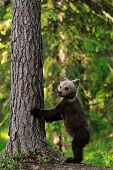 Brown Bear Cub Standing