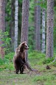 Brown Bear Standing In The Forest