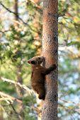 Brown Bear Cub Climbing