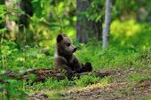 Brown Bear Cub resting