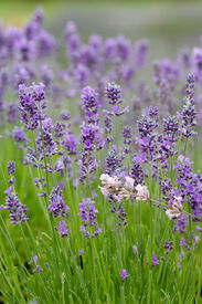 picture of lavender field  - Lavender flowers growing in the garden in Sequim WA - JPG