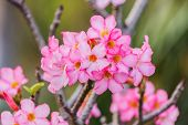 foto of desert-rose  - Beautiful pink azalea flowers tropical flowers. Desert roses in the garden