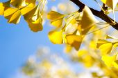 Autumn Ginkgo Leaves  Against Sky