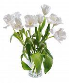 fully opened white tulips isolated on white background