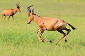 Red Hartebeest - African Wildlife Background - Running Red Speed