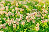 Clover Flowers On Meadow