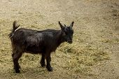 picture of pygmy goat  - Cute black young Pygmy goat feeding alone