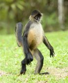 spider monkey juvenile walking on hind legs, costa rica