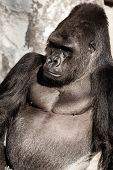 image of face-fungus  - Portrait of a gorilla male in european zoo