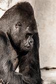 Portrait Of A Gorilla Male