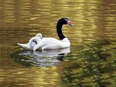 Black Necked Swan with chick