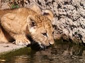 Water drinking lion