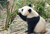 Young Giant Panda Eating Bamboo, China