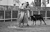The Heifer Rams The Lancer's Horse