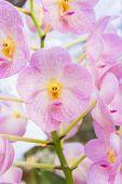 Pink Orchids(vanda)