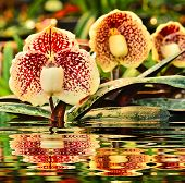 image of rare flowers  - Beauty Flower Paphiopedilum and reflect in water - JPG