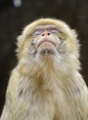 image of macaque  - Close up of a young beautiful yellowish brown to gray barbary macaque having its eyes closed like praying - JPG