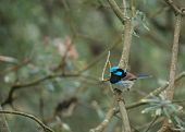 Blue male superb fairywren