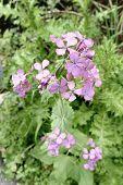 Honesty Flowers & Seeds - Lunaria Annua