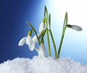 beautiful snowdrops in snow on blue background