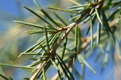 Evergreen Tree Branch Closeup