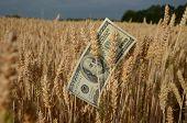 Usa Dollar Banknote On Wheat Ears