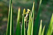 Green Praying Mantis On The Plant