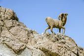 Monument Of Sheep, Sahara, Chebika