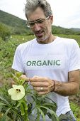 Organic farmer in okra plantation inspecting the field