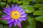 Beautiful Purple Waterlily Or Lotus Flower In Pond  In Nature - Lotus Pond