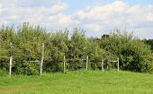 Old weathered fence and apple trees