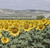 Sunflowers And Olives