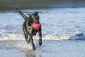 image of labradors  - Black Labrador dog fetching a ball on the beach running towards camera with copy space - JPG