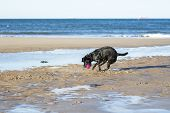 Dog Catching Ball On Sand