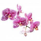 Blooming Motley Lilac Orchid, Phalaenosis Isolated On White Background