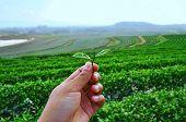 Green Tea Thailand