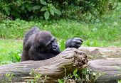 Gorilla Resting On A Tree