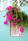 The Window Framed With Fresh  Flowers Bougainvillea